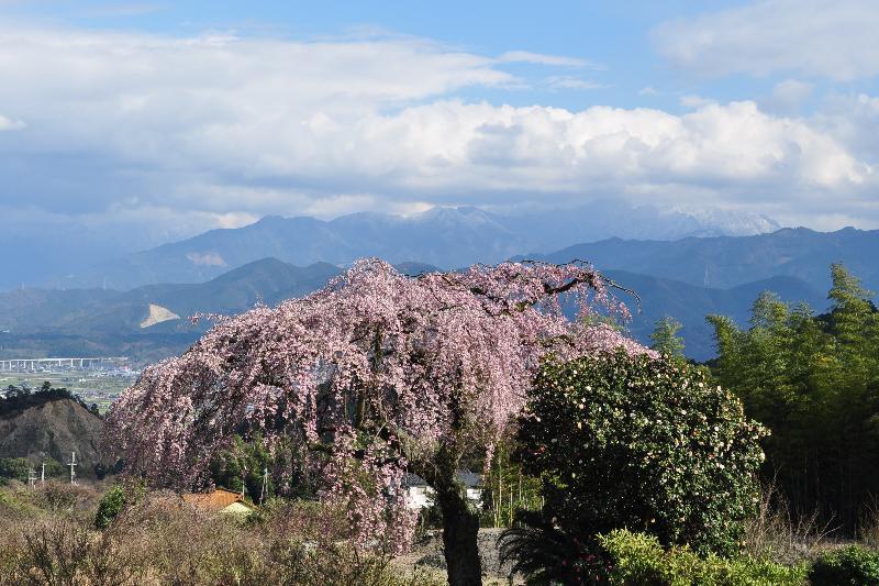 西条市丹原町 古田の枝垂桜