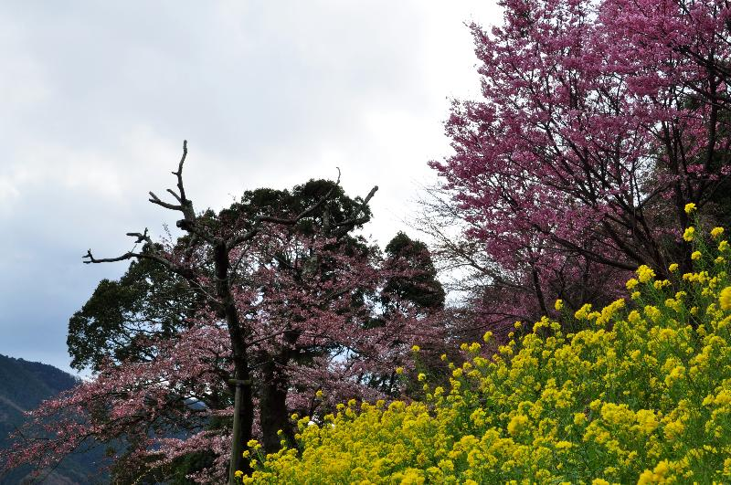 西条市丹原町 来見の陽春