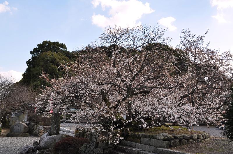西条市丹原町 実報寺 一樹桜