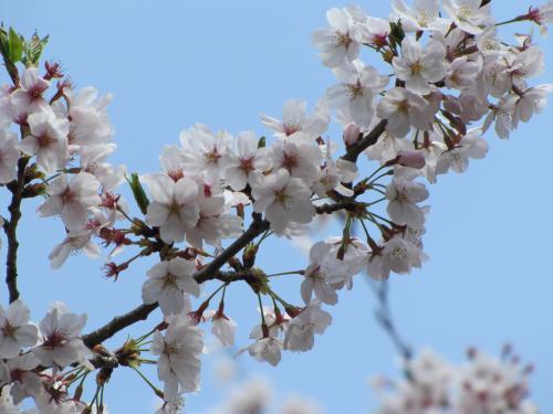お花見散歩1