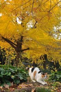 イチョウの黄葉/紅葉を背景に爪とぎする日比谷公園の三毛猫さくら