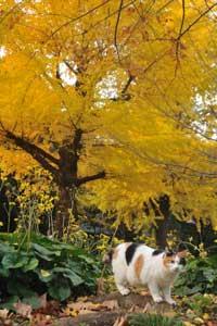 イチョウの黄葉/紅葉を背景にポーズする日比谷公園の三毛猫さくら