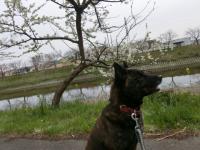 桜はまだ・・・