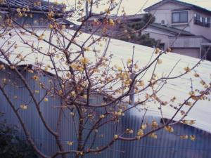 20110216ロウバイ開花
