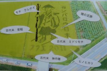 田んぼアート:稲の種類