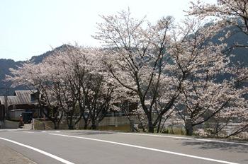 桜が満開070407