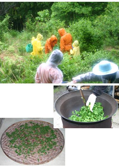 四万十奥屋内天然色堂「山茶摘み体験」2009年090427d