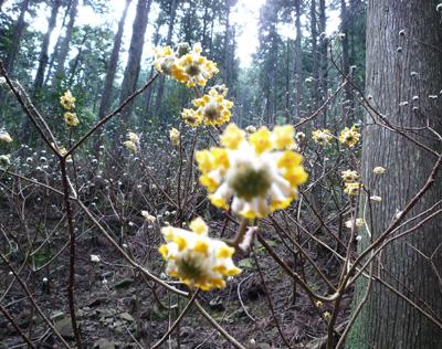 みつまたの花が咲きました100305b