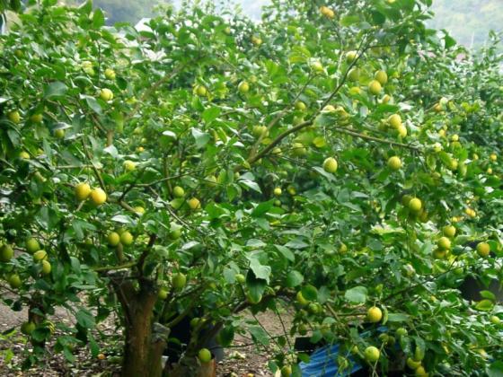 16 レモンの木