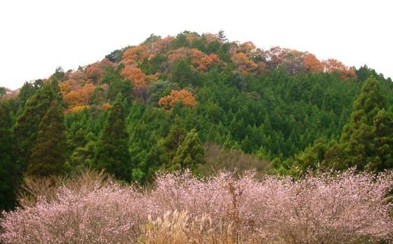12 冬桜