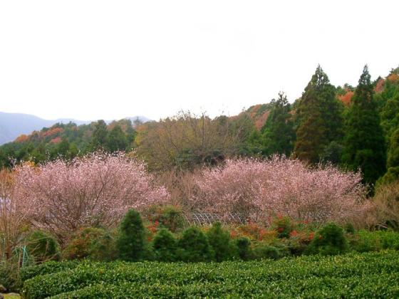 13 冬桜