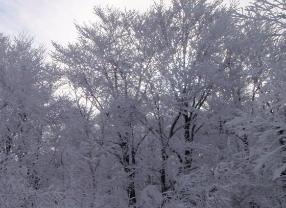 03霧氷の林