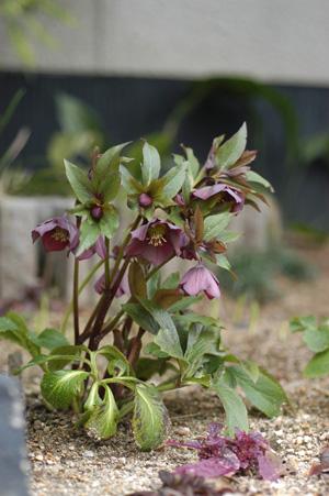 purpleshade2010305-1.jpg