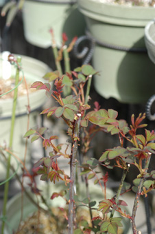 rose2010305-2.jpg