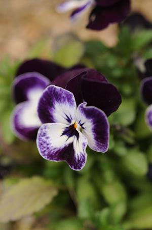 viola2010322-2.jpg