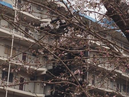 桜ちらほら