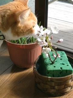 桜みやげ2