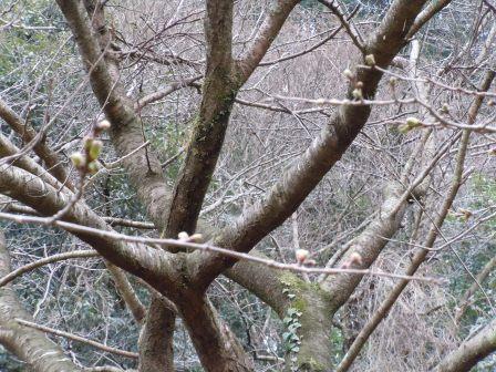 桜2(2011.03.21)