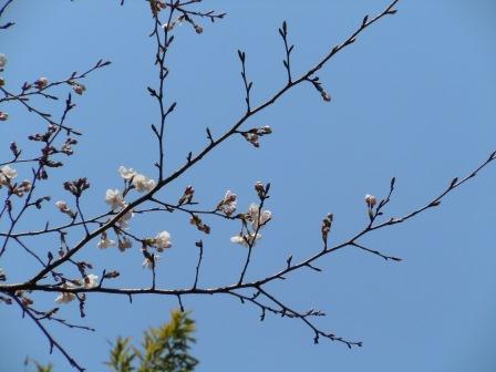 我家の桜2(2011.03.31)