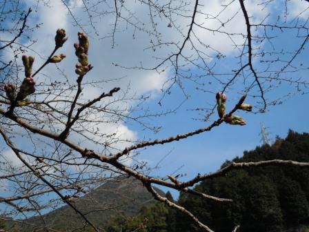 桜のつぼみ(2011.03.27)
