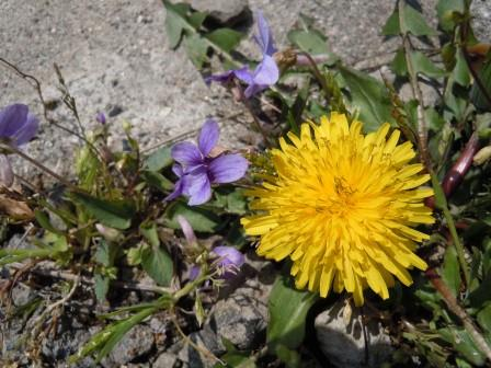 野の花4(2011.03.31)