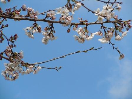 桜1(2011.04.02)