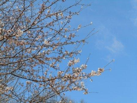 桜3(2011.04.02)