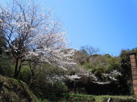 我家の桜(2011.04.05)