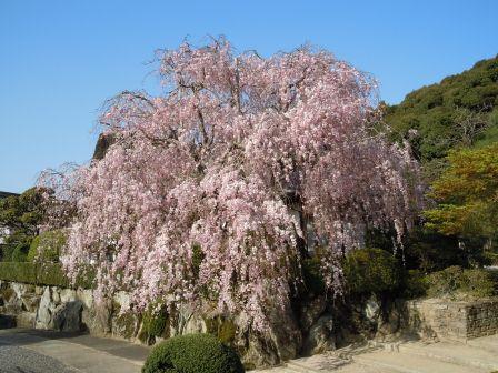 柿右衛門窯枝垂桜(2011.04.14)