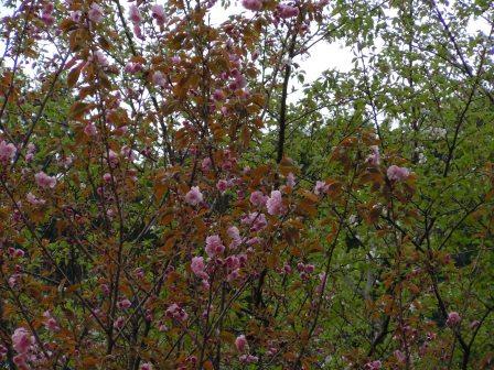 八重桜(2011.04.16)