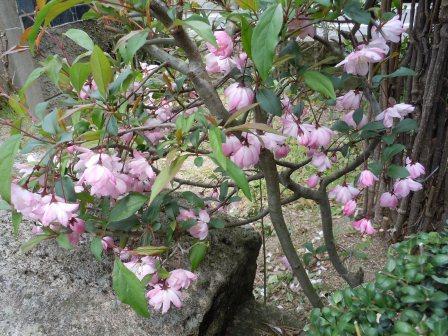 春の花2(2011.04.16)
