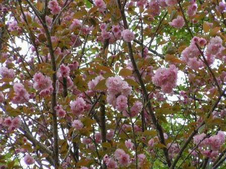 八重桜(2011.04.21)