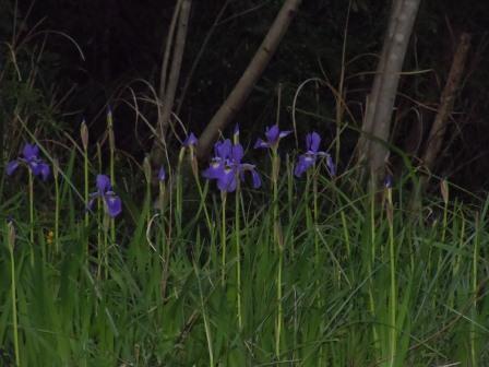 菖蒲(2011.05.05)