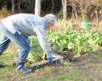 白菜の収穫