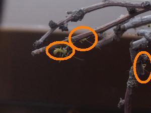 小さいカマキリがいっぱい いる~
