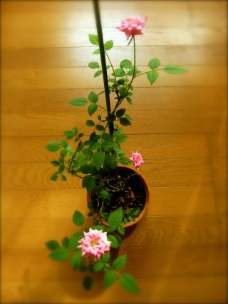 薔薇3姉妹