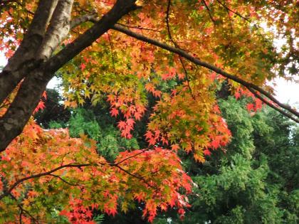 秦野の紅葉