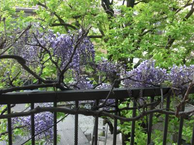 藤の花の見頃