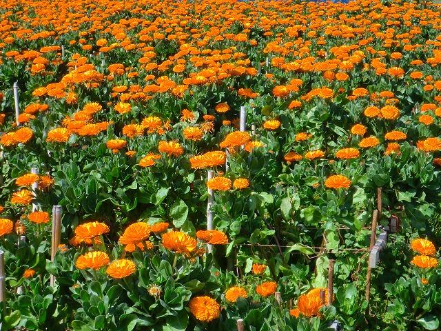 キンセンカのお花