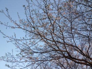 20110420_sakura_003.jpg