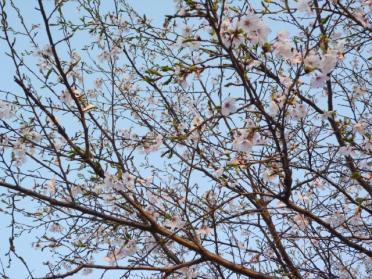 20110420_sakura_004.jpg