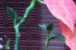 ポインセチア新芽