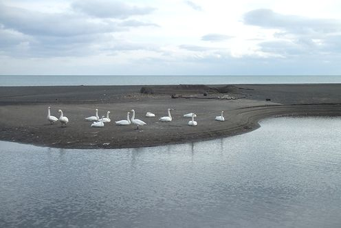 091208-swan1.jpg