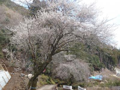 桜が咲いていました