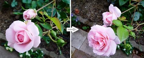 roses20111019-1.jpg