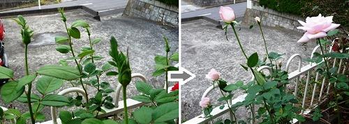 roses20111019-2.jpg