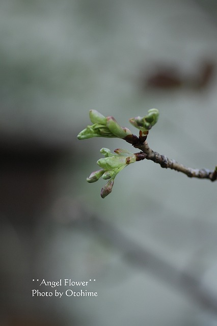 IMG_4527河津桜