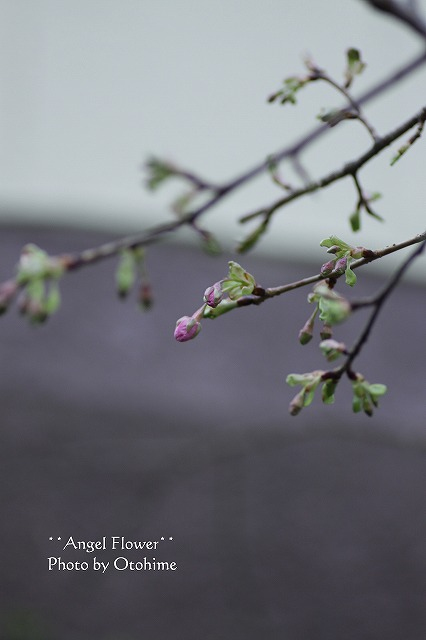 IMG_4530河津桜