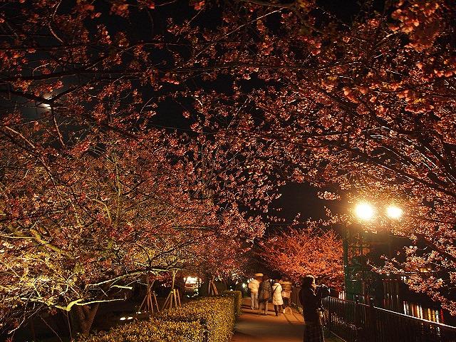 119河津桜