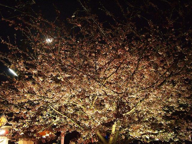 123河津桜